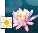 seerosen im teich - Laydecker Seerose