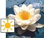 seerosen im teich - Weisse Seerose