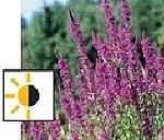 teichpflanzen für die sumpfzone - Blutweiderich