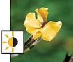 teichpflanzen für die supfzone - Gauklerblume