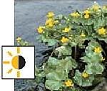 teichpflanzen für die sumpfzone - Sumpfdotterblume