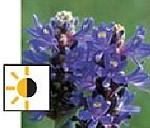 teichpflanzen für die tiefwasserzone - Hechtkraut