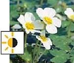 teichpflanzen für die tiefwasserzone - Wasserhahnenfuß