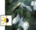 teichpflanzen für die Uferzone - Wollgras
